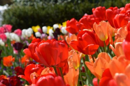 Tulip Tour with MS Fluvius